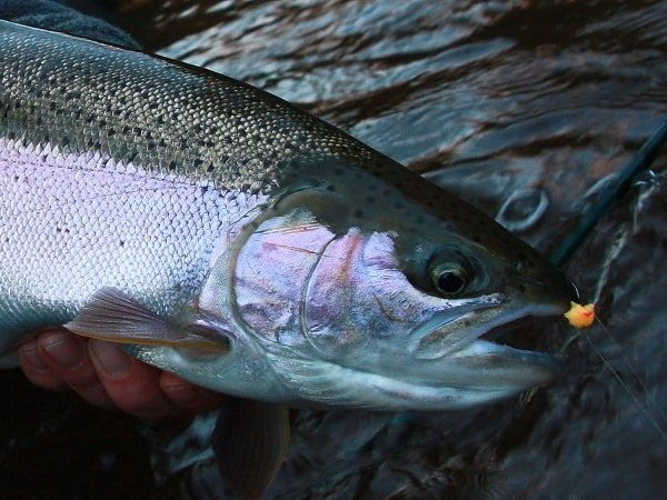 Lake Superior Trout and Steelhead Fly Fishing